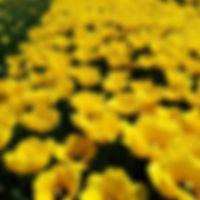 Tulp Chrystal Star.jpg