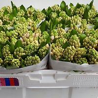 Hyacint bos China Pink.jpg