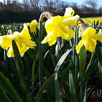 Narcis prettig Yellow.jpg