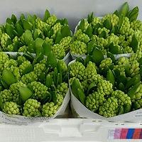 Hyacint bos White King.jpg