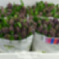 Hyacint bos Purple Star.jpg