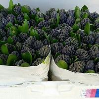 Hyacint bos Delfts Blauw.jpg