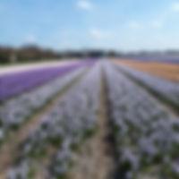 Hyacinth Azur.jpg