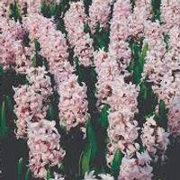 hyacint China pink extern.jpg