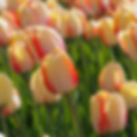 tulp Beauty of Spring extern.jpg
