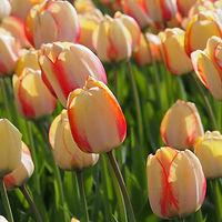 tulp Beauty of Spring extern.jpg