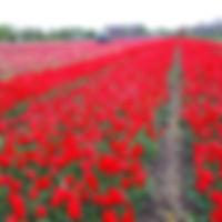 Tulp Vestna.jpg