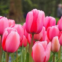 Tulp Pink impression extern.jpg