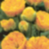 tulp yellow pompenette.jpg