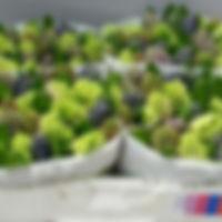 Hyacint bos 5 klmix.jpg