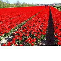 tulp Apeldoorn rood.png