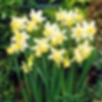Narcis Sint.jpg
