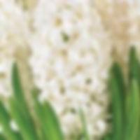 hyacint white king extern.jpg