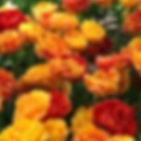 Tulp Sunlover extern.jpg