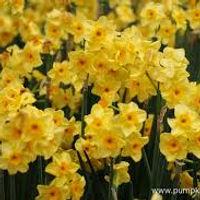 Narcis Golden dawn extern.jpg