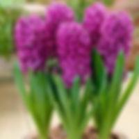 hyacint purple sensation.jpg