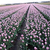 Tulp Ollioules.jpg