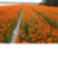 Tulp Orange Breeze.png