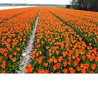 Tulp Orange Breeze.png