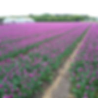 Tulp Purple Flag.jpg