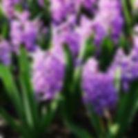 hyacint Splendid Cornelia extern.jpg