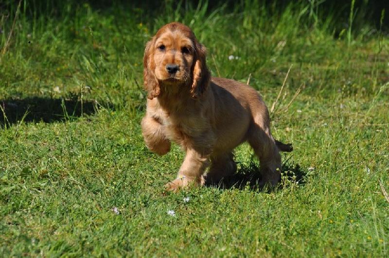 chiens-Cocker-Spaniel-Anglais-1e22ca00-4a9f-8d34-7dc5-6b554b7617fe