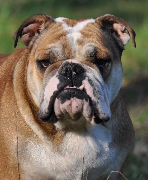 chiens-Bulldog-Anglais-cee6d011-37d9-84a4-a138-18bef17ceb39