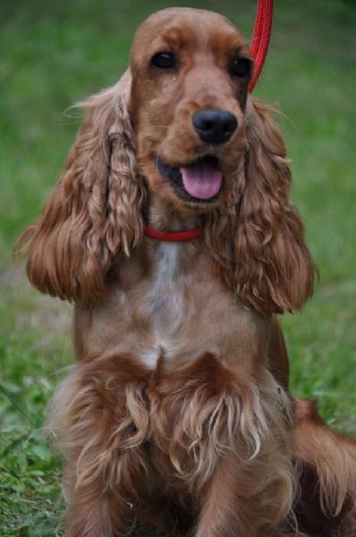 chiens-Cocker-Spaniel-Anglais-3e584beb-b68e-9244-9d3c-ba88d71ed232