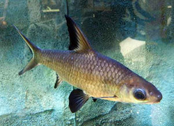Balantiocheilus-Melanopterus.jpg