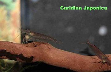 cardinia japonica