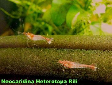 neocaridina heterotopa