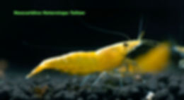 neocardina heterotopa yellow
