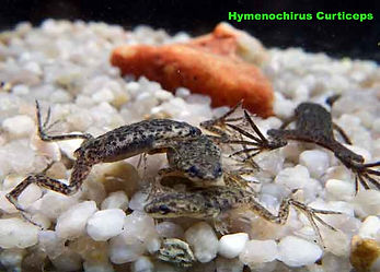 hymenochirus curticeps