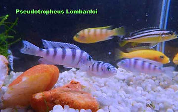 pseidotropheus lombardoi