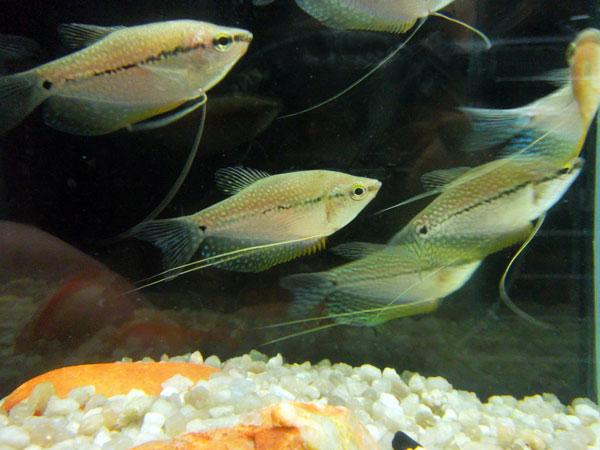 Trichogaster-Leeri