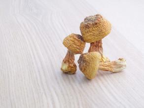 三大保健食用菌之一: 姬松茸 🇧🇷🍄