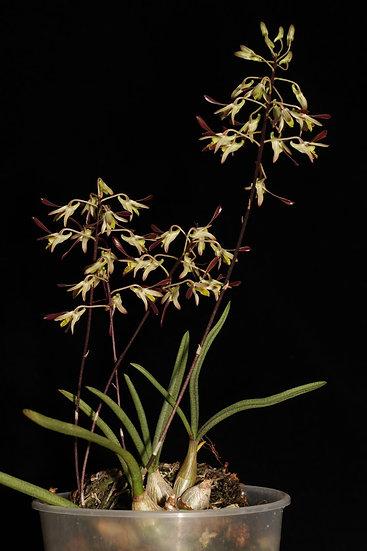 Dendrobium carronii