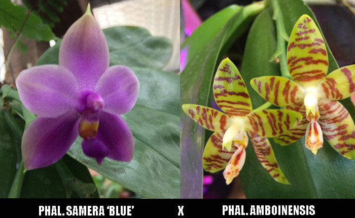 [Flacon] Phalaenopsis Samera 'blue' x amboinensis