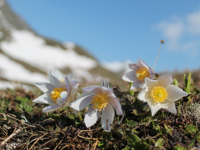 Anemone im April
