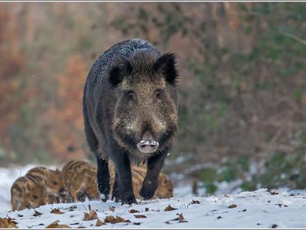 Pressemeldung des MULNV NRW vom 14. September 2018 zur Afrikanischen Schweinepest in Belgien