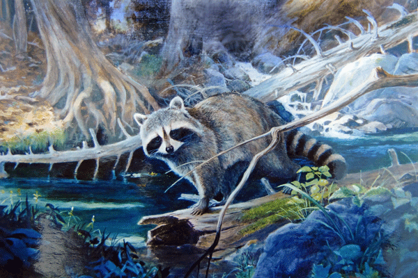 Raccoon-at-Stream