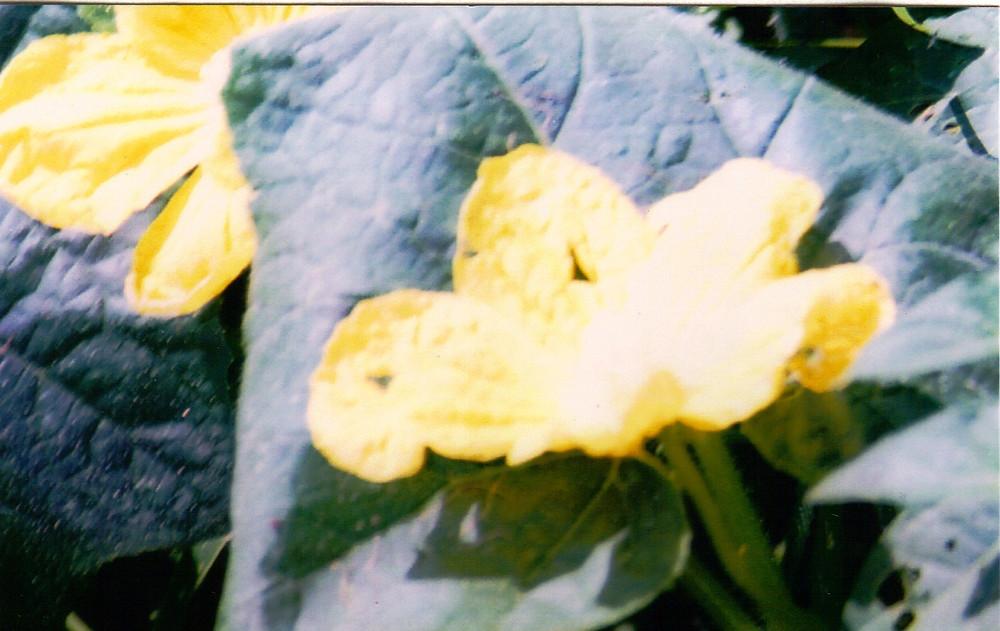 EDIBLE FLOWER, SQUASH BLOSSOM.jpg