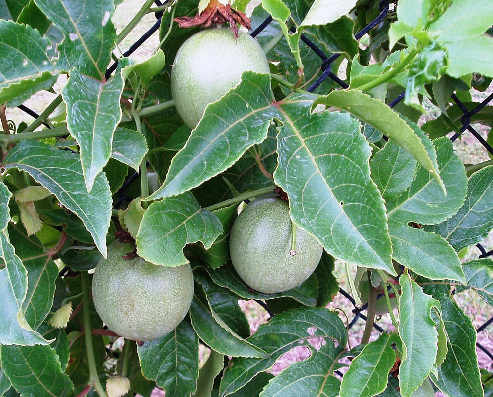 PASSION FRUIT ON THE VINE.jpg