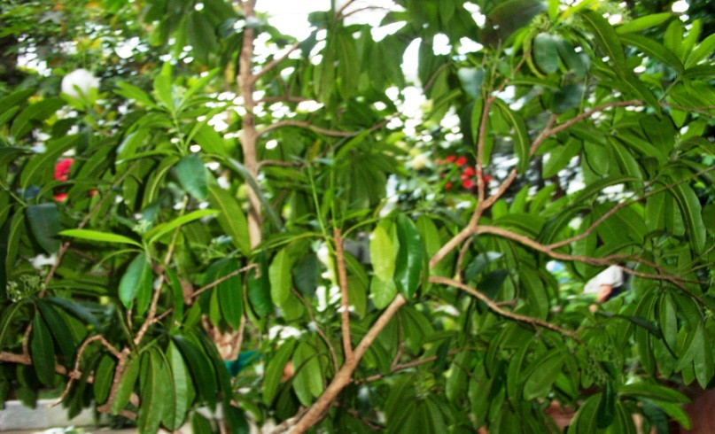SPICE, ALLSPICE TREE WITH UNRIPE BERRIES.jpg