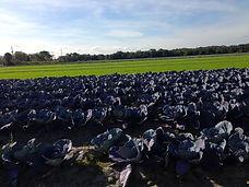Purple Cabbages