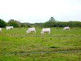 Florida Cattle Grazing
