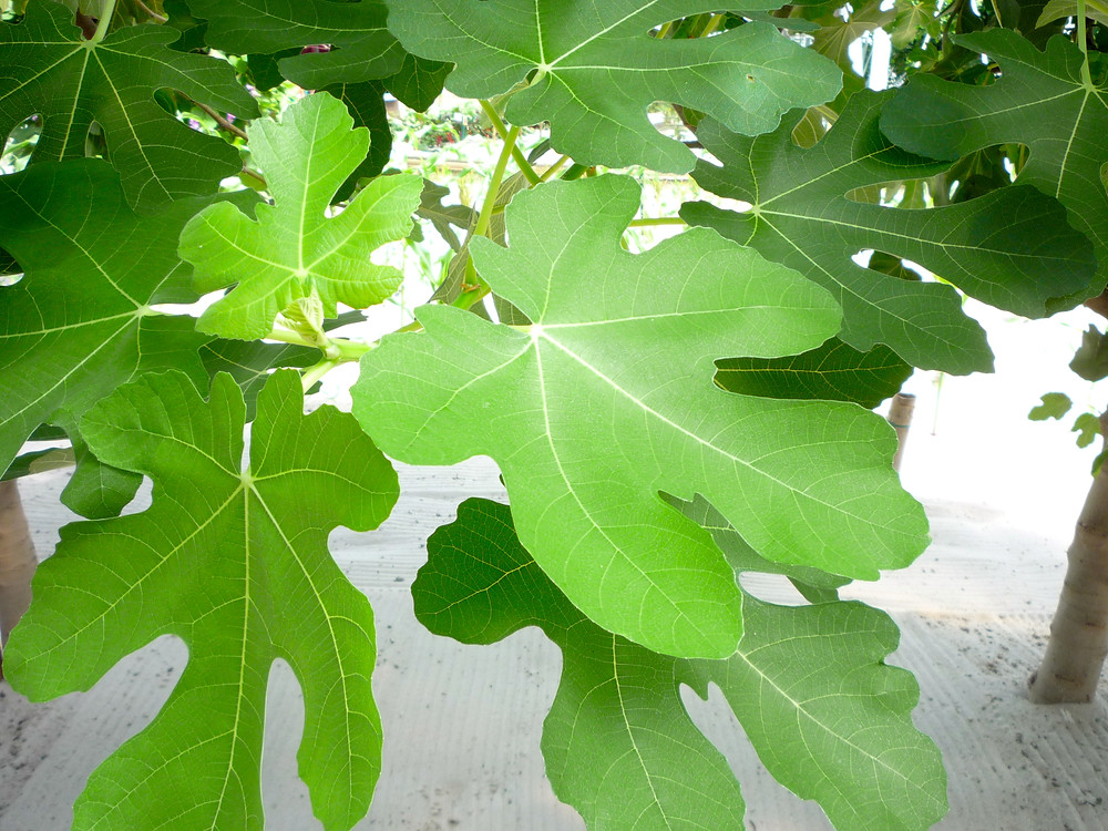 FIG, LEAVES.JPG