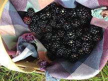 Florida Blackberries