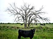 Florida Cow