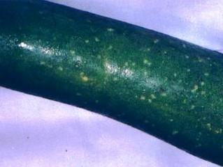 Fuzzy Melon